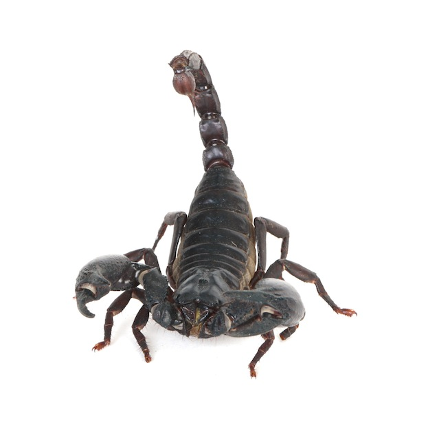 Scorpion physical characteristics