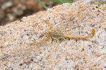 Fotografía De Un Escorpión De Corteza De Arizona