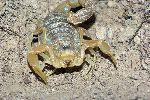 Common Yellow Scorpion Close-up