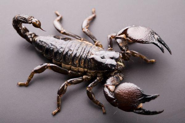 Black Emperor Scorpion Sting Emperor scorpion close-up