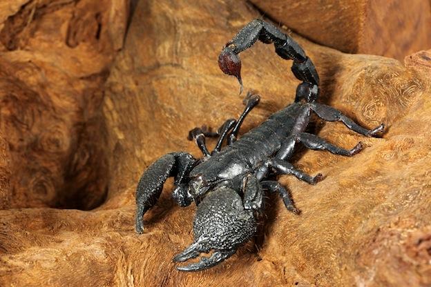 Emperor Scorpion Facts