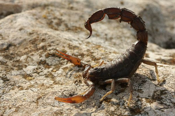 Fattail or Fat-Tailed Scorpion