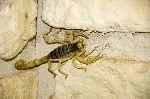 Escorpión Del Norte Paruroctonus boreus