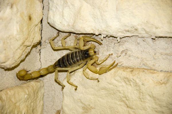 Northern Scorpion - Paruroctonus boreus