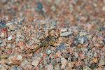 Scorpion - Genus Paruroctonus