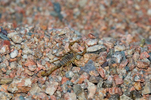 Escorpion_genero_Paruroctonus_600
