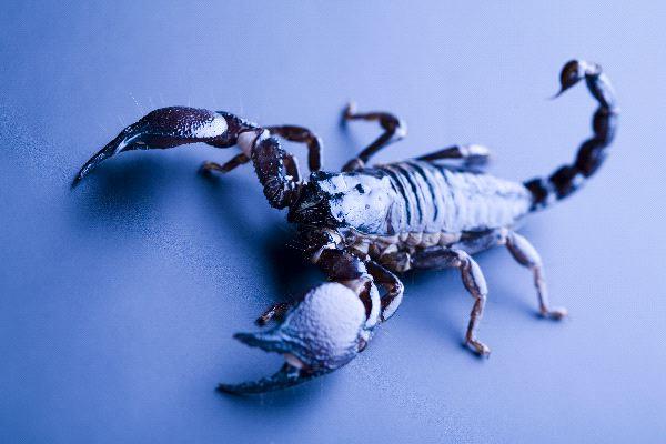 Scorpion on Blue Background