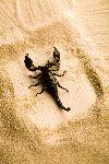 Escorpión Sobre La Arena