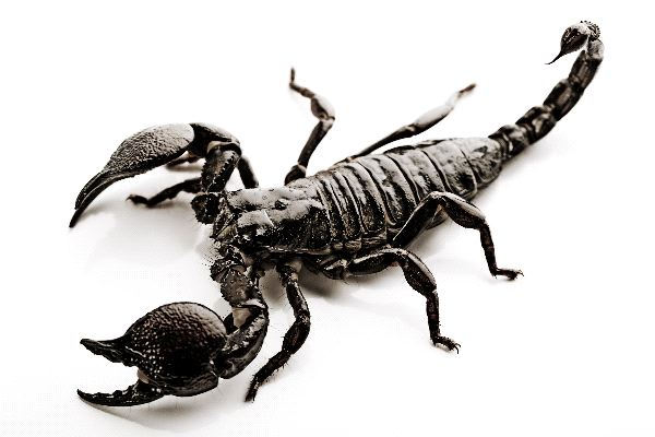 Image result for scorpion