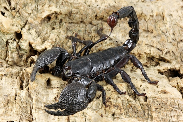 Types of Scorpions - Emperor Scorpion