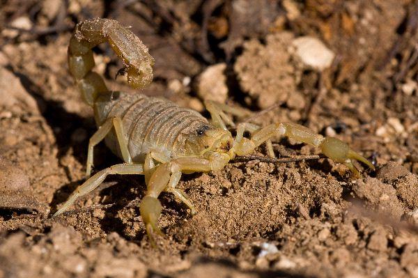 Venomous Common Yellow Scorpion
