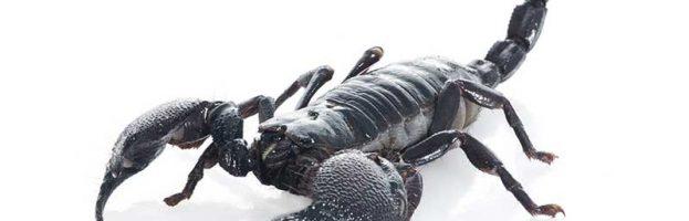 Scorpion Anatomy - Scorpion Facts and Information