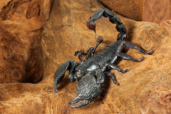 Información sobre el escorpión emperador