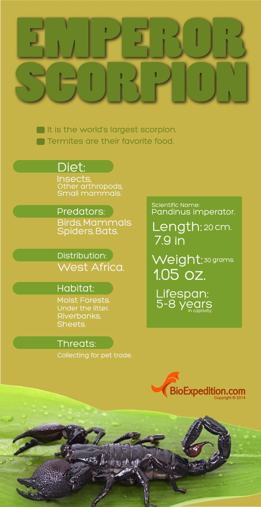 Infographic. Emperor scorpion.