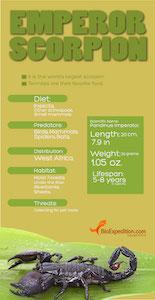 Emperor scorpion infographic.