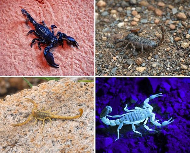 especies_escorpiones_624
