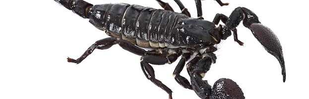 Imágenes de Escorpiones